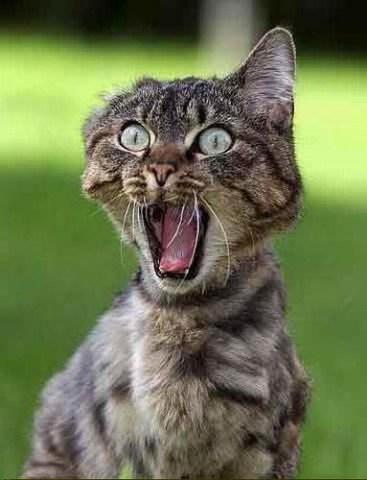 med_funny-cat